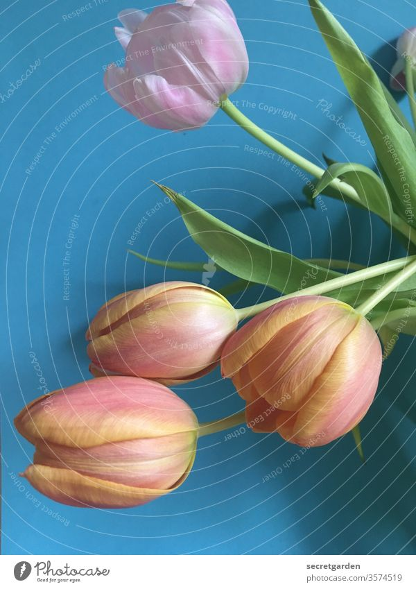 hang out together again. Tulip Tulip blossom Tulip bud bouquet of tulips Blue Pink vivid green Plant at home Nature Bouquet flowers Fresh Interior shot interior