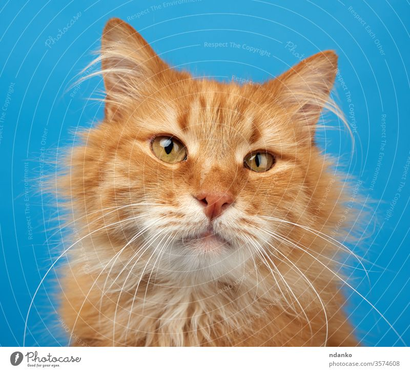 portrait of adult ginger fluffy cat on a blue background canine closeup color curious adorable animal beautiful big breed brown cute domestic eyes face feline