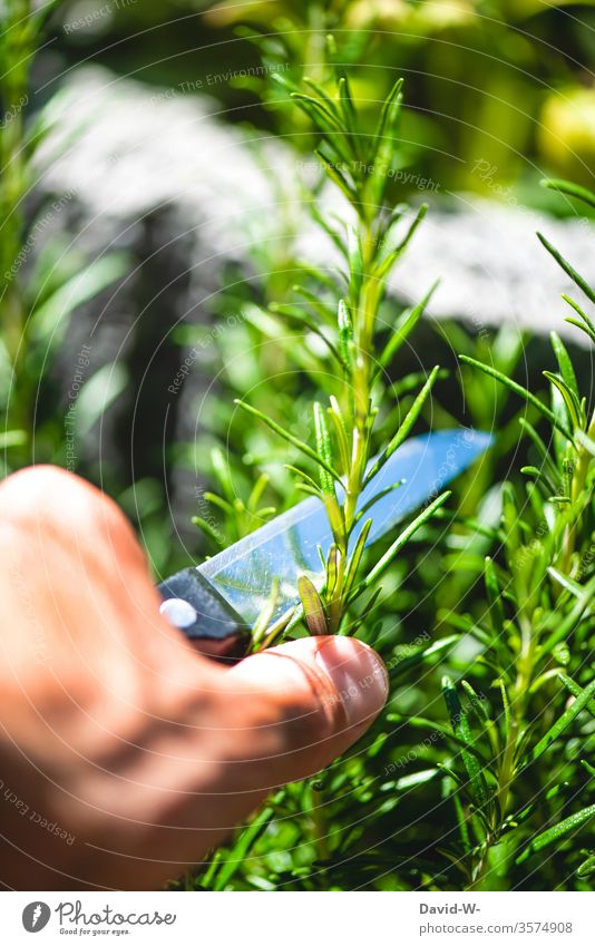 Man cuts off a piece of rosemary with a knife in the garden Plant Rosemary Herbs and spices Herb garden herbs Herbology season boil self-catering