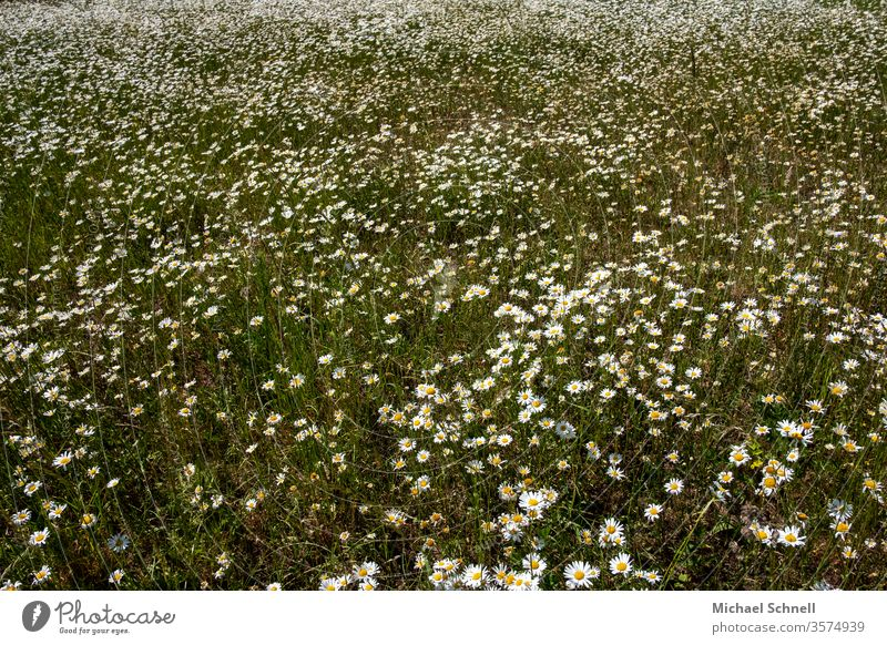 Countless daisies Marguerite flowers bleed Summer Nature Blossoming spring Colour photo Exterior shot Deserted White Growth