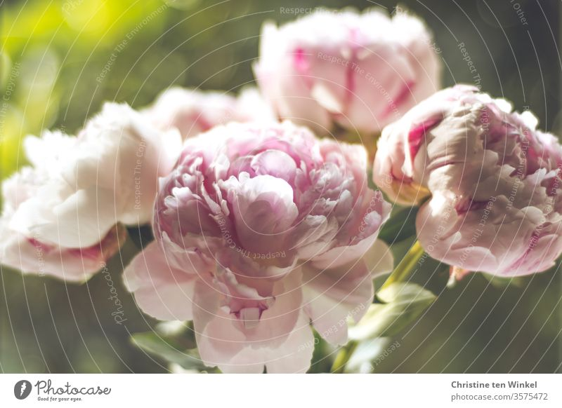 Pink peonies flowers in front of a green blurred background Peony Blossom Blossoming peony blossom green background Shallow depth of field 4 Green romantic