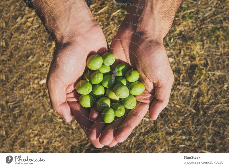 Close up of a man hands holding olives green oil young boy picking tree healthy agriculture harvest mediterranean organic food fruit nature vegetable fresh