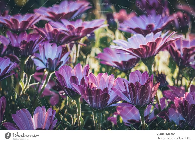 Flowers of Osteospermum 'Soprano Purple' commonly known as African daisy or Cape Daisy flowers bloom blossom botanic botanical botany buds flora floral