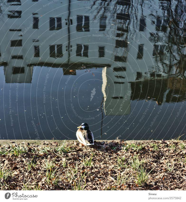 apartment inspection Duck Drake birds Animal Wild animal Water Channel Landwehrkanal Kreuzberg Neukölln House (Residential Structure) apartment building