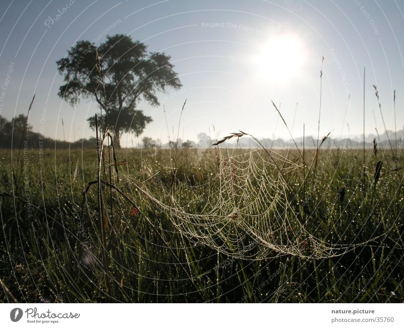 Willow and spider web with morning dew Spider's web Dew Drops of water Rich pasture Meadow Grass Blade of grass Pasture Sun solitary tree Elbe