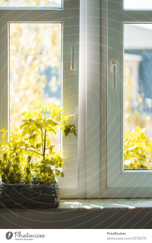 #A# Plant by the kitchen window tomato plant green inside Window board windowsill Pot plant Summer balconies Window pane fresh air Ventilate at home cake
