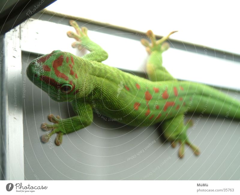 gecko Green Red Saurians Lizards Zoo Terrarium Gecko Berlin zoo Amphibian Gekko