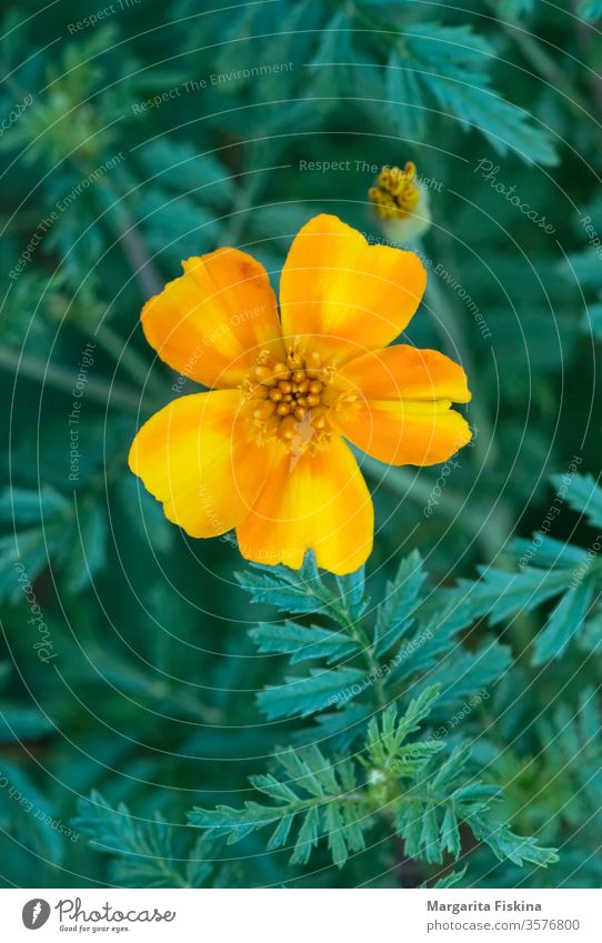 Yellow flower on a background of green plants. beautiful beauty bloom blooming blossom botany bright closeup color colorful flora floral fresh garden natural