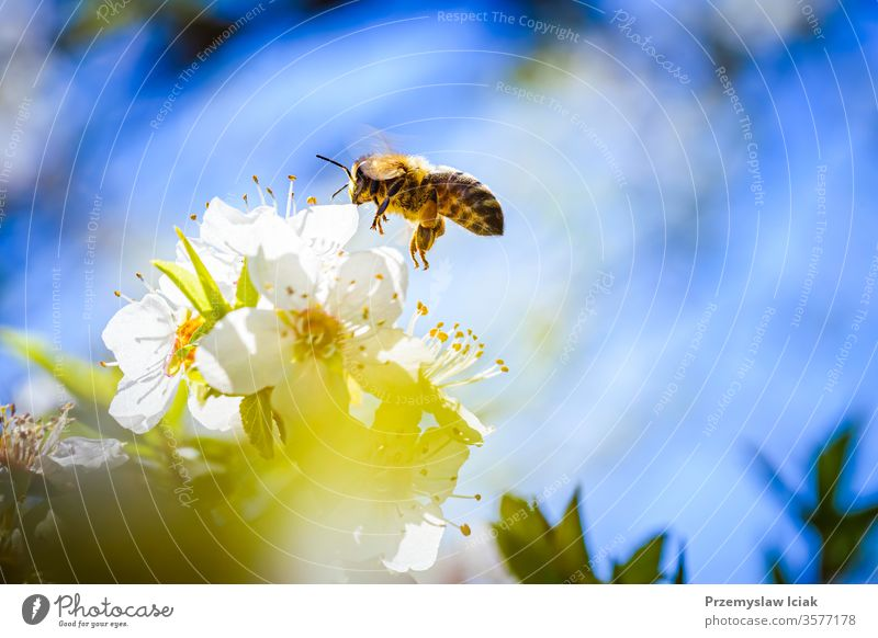 Close-up photo of a Honey Bee gathering nectar and spreading pollen on white flowers of white cherry tree. bee honey nature yellow insect macro blossom animal