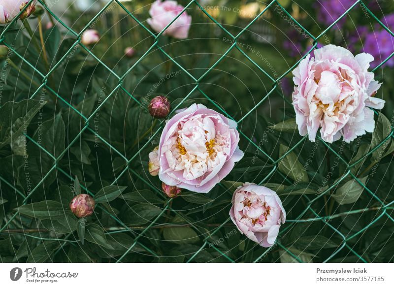 pink peony flowers in garden against green leaves background peonies grass summer space macro leaf nature beautiful beauty chrysanthemum up text big card purple