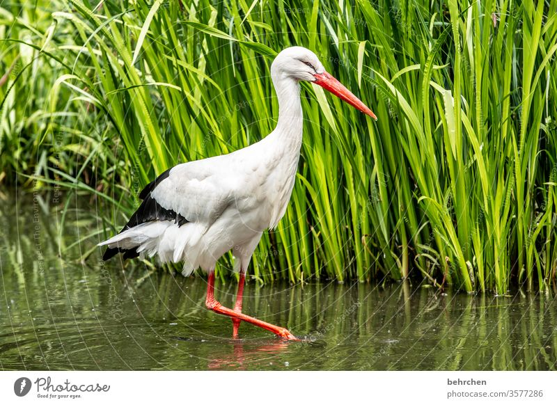 naaa neighbor... Animal Fantastic Exceptional pretty Common Reed Pond Feather Stork Grand piano Colour photo Light Day Deserted Beak Animal face White Bird