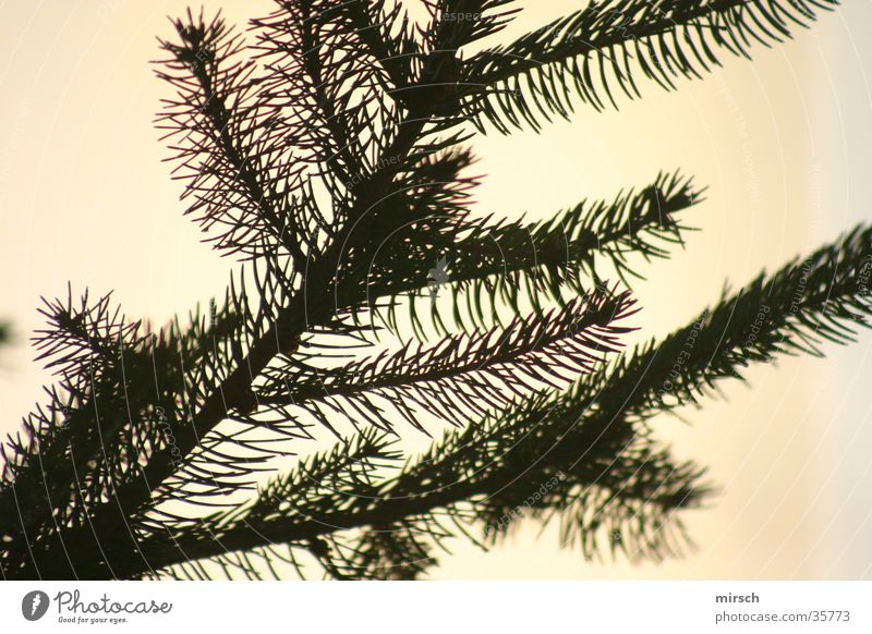 Green Fir tree Coniferous trees