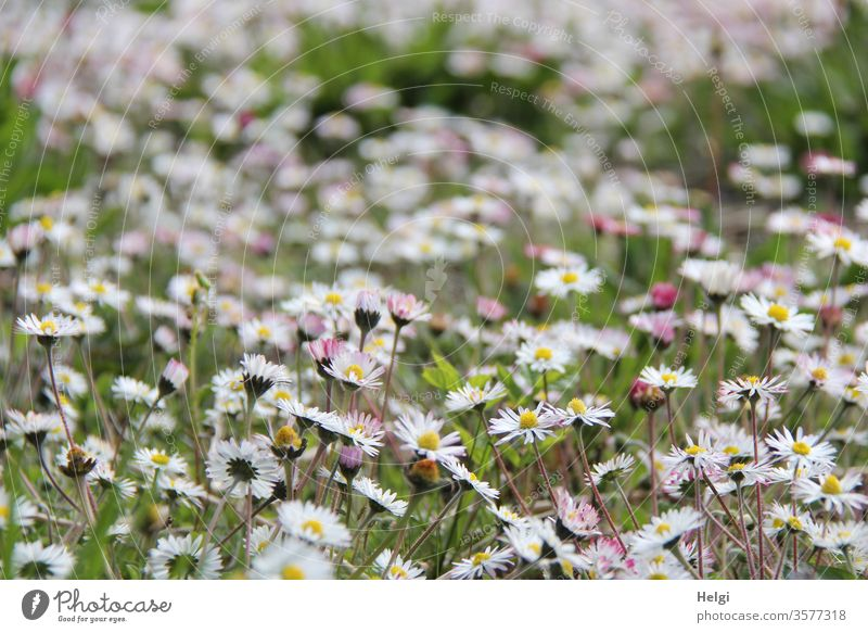 Flower meadow - countless daisies bloom on a meadow flowers bleed Daisy Flowering meadow Landscape Nature Environment natural Plant Meadow Exterior shot