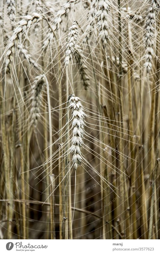 Grain ear Grain field Plant Ear of corn Nature grain Cornfield ready for harvesting Field Summer Agricultural crop Growth Agriculture staple food