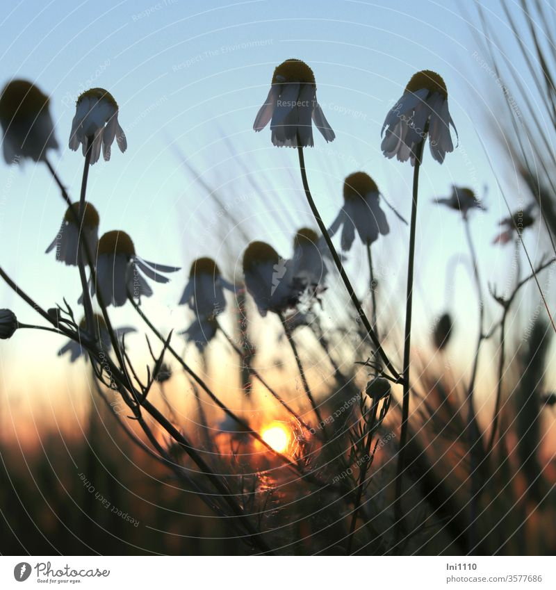 Sunset at the edge of the field Chamomile Camomile blossom Barley feeding evening sunlight pastel Light evening stroll blue hour medicinal plant Worm's-eye view