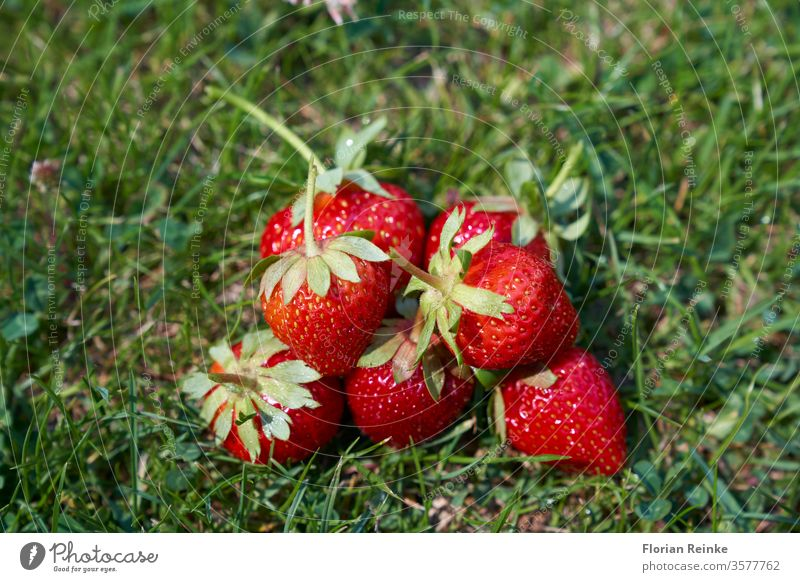 Seven freshly picked ripe strawberries lie in the grass Strawberry food snack delicious dessert jam breakfast morning tasty brunch sweet gourmet homemade