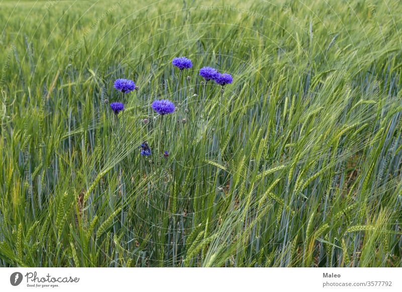 Wild cornflowers on a background of green spiky field abundance beautiful beauty bloom blooming blossom blue buds color colorful colour design display english