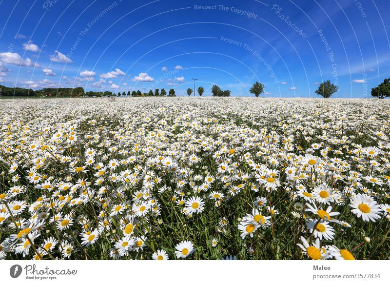 Chamomile field on a sunny May day background spring yellow flower meadow camomile garden summer beautiful beauty blossom chamomile daisy flora nature plant