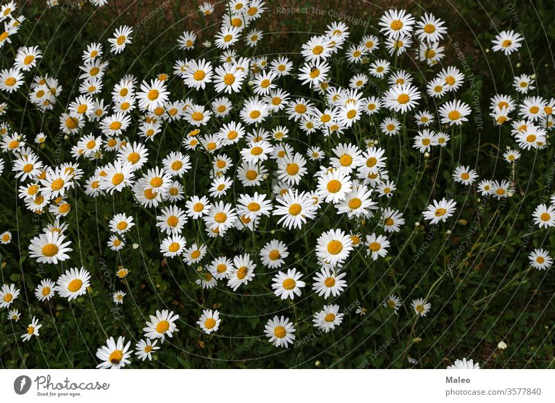 A group of white daisies in the meadow background beauty blossom camomile chamomile closeup color daisy farm farming field flora floral flower grass green