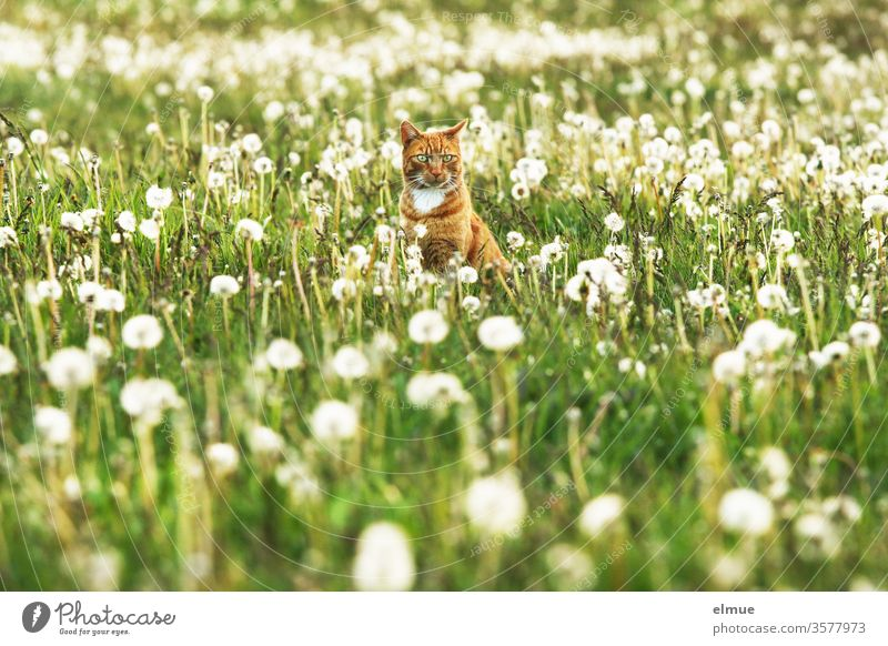 red cat sitting on a meadow with dandelions Cat hangover puff flowers Meadow freigänger rural Village romantic Wait Pet Domestic cat tranquillity Sphere