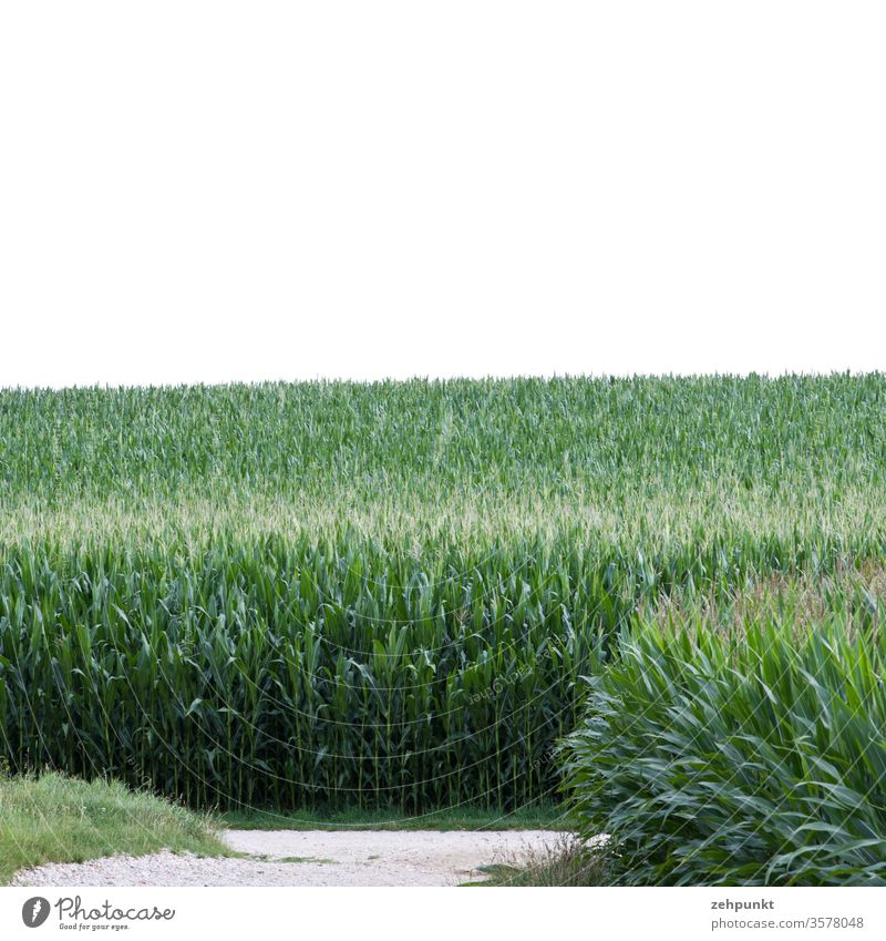 Two corn fields, one path t-crossing, white sky Maize Maize field Road junction green Agriculture Field Summer July White
