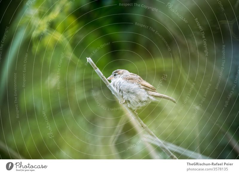 Sparrow sitting on a branch birds Feather Animal Colour photo Beak Exterior shot Nature Brown blurred background Flying Animal portrait 1 Close-up Small