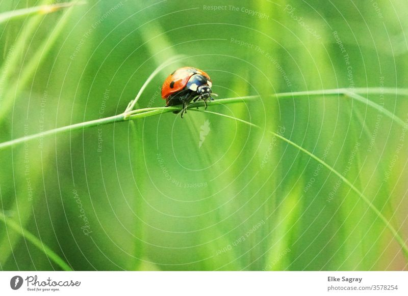 ladybugs Insect Close-up Nature Ladybird Red Beetle spring Exterior shot