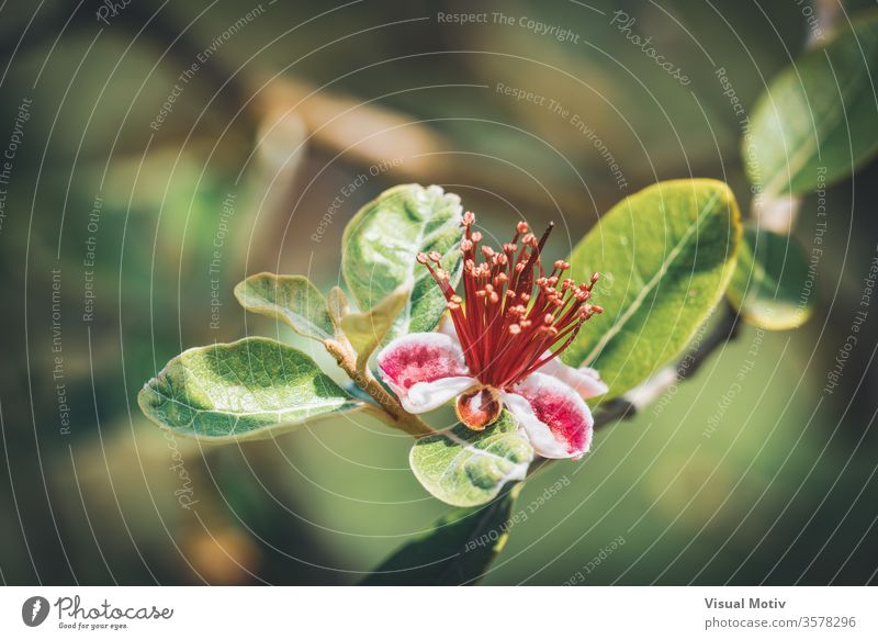 Exotic red flower of Pineapple Guava tree also known as Feijoa Sellowiana bloom blossom botanic botanical botany flora floral petals flowery garden organic