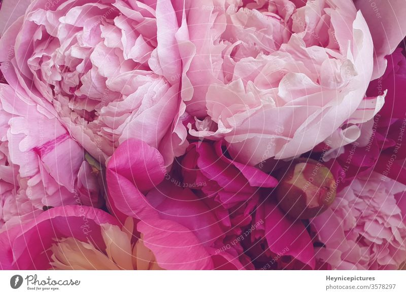 Pink peonies romantic flowers background wallpapers beautiful beauty bloom blossom botanical bouquet closeup day decoration flora floral fresh freshness pastel