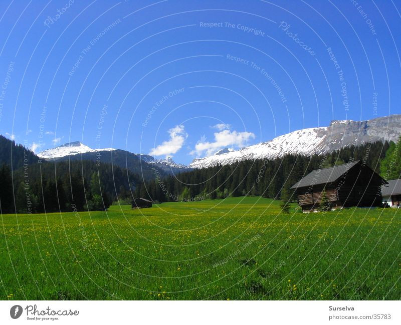 Spring in Flims Meadow Dandelion Switzerland Mountain Sun