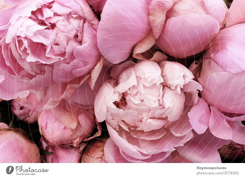 Pink peonies romantic flowers background wallpapers flavor manner beautiful beauty birthday bloom blossom botanical bouquet closeup collection color decor