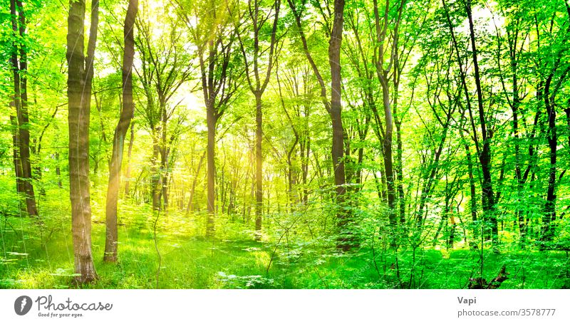 Green forest with trees green panorama nature landscape background sun sunlight foliage big environment wood park outdoor magic summer sunny scenery spring