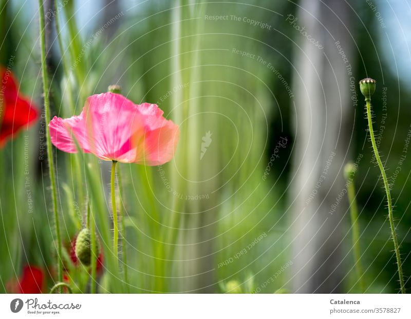 No Monday without poppies Day Wild plant already Environment Poppy capsule Blossoming green Red Corn poppy Meadow Poppy field bleed Summer flora Plant Nature