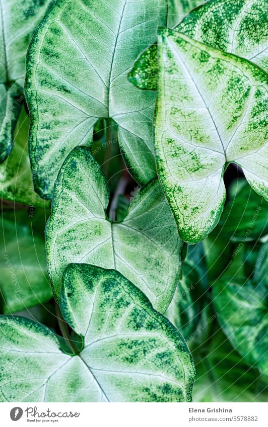 Green leaves Syngonium podophyllum close up, house plant floral green background syngonium leaf closeup vertical abstract foliage nature background green color