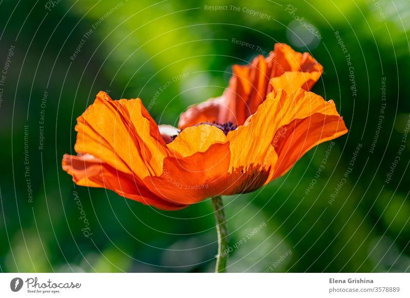 Macro photo of a single poppy flower. poppies red red poppies poppies flower blooming flowers poppy flowers scarlet open flower perennials poppy field holland