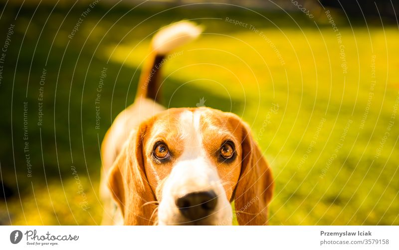 Adorable beagle dog background. Copy space for text on right portrait animal pet outdoor nature park young happy canine grass cute friend hound green pedigree