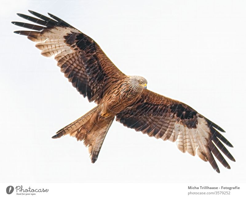 Flying red kite Red Kite Red kite milvus milvus Royal Consecration Crested Harrier Bird of prey Head Beak Eyes Grand piano feathers Wing span Circle flapping