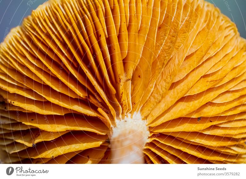 Close-up Mushrooms in a Pine Forest Plantation in Tokai Forest Cape Town mushroom fungus fungi wild pine forest orange brown needles mycology poisonous