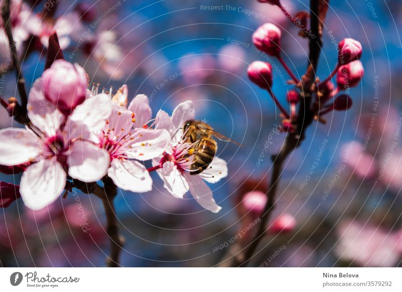 Honey Bee on cherry blossom tree, spring time bee animal apis mellifera background beautiful beauty bees bloom blooming blossoms blue branch bright closeup