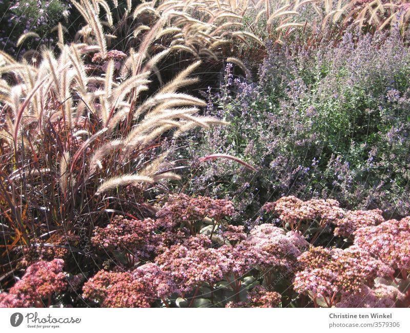 Late summer flowers and grasses. Red lamp cleaner grass, stonecrop and catnip Sedum Pennisetum setaceum rubrum Fat chicken Summer Summerflower late summer