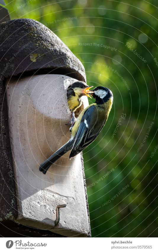 Great tit feeds its young Tit mouse birds bird family young animal Feeding feeding Considerate Nesting box Wild animal Animal portrait incubate brut