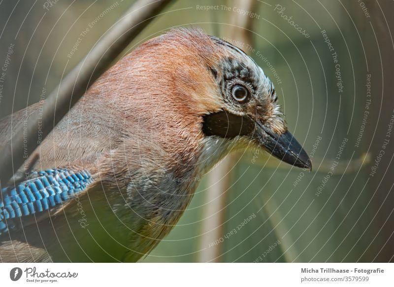 Portrait of a Jay Garrulus glandarius Animal face Head Beak Eyes Feather Grand piano Plumed birds Wild animal Nature Near Looking Sunlight Beautiful weather