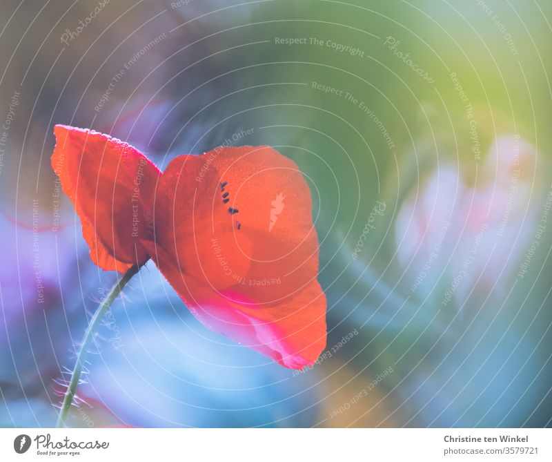 Close-up of a red corn poppy blossom in front of a colourful blurred background Poppy Papaver rhoeas Poppy blossom poppy flower red poppy Red variegated