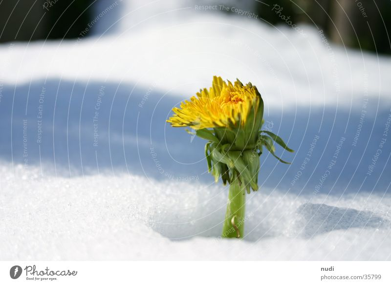 Look who's blossoming. Dandelion Flower Spring Winter Yellow White Green Concealed Blossom Snow shadow