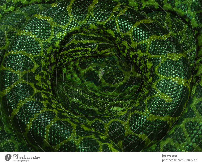 Rolled up, the snake will not reveal its secret at all Wavy grain Anacondas Dappled Lie Bilious green Abstract Pattern Exotic Snake skin Senses Center point