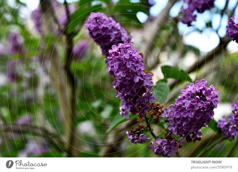 May time! Three purple inflorescences of the robust lilac shrub (Syringa) in full splendor on the branch in front of blurred green of a lilac bush and a little bit the bright blue of the sky shines through the foliage