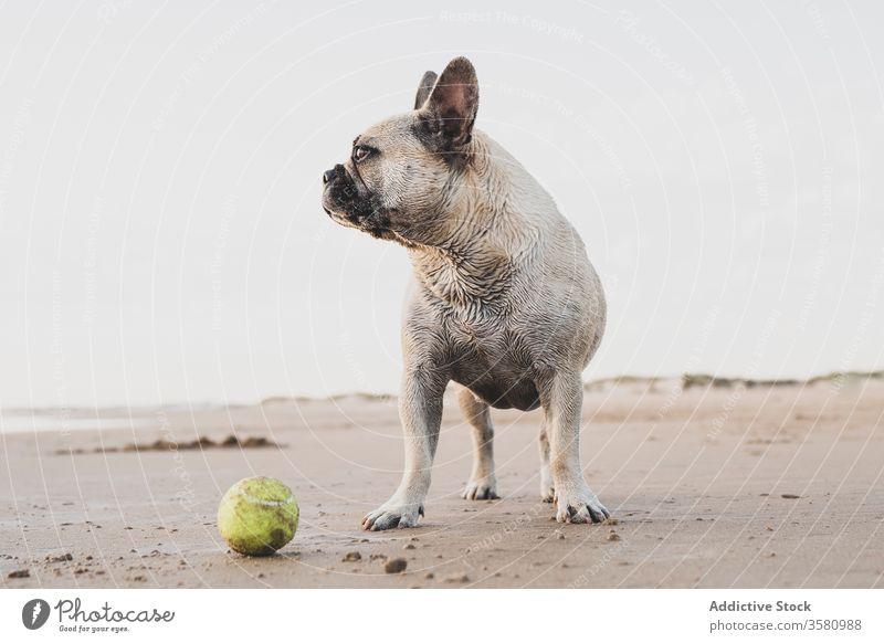 French Bulldog on sandy beach french bulldog tennis ball seashore animal domestic cute wet pet playful coast nature active joy adorable toy stand freedom mammal