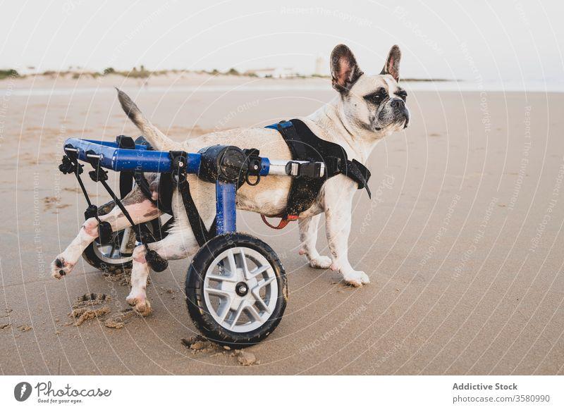 French Bulldog in wheelchair at seaside french bulldog beach coastline disable animal handicap domestic calm water seashore cute sand wet pet nature joy
