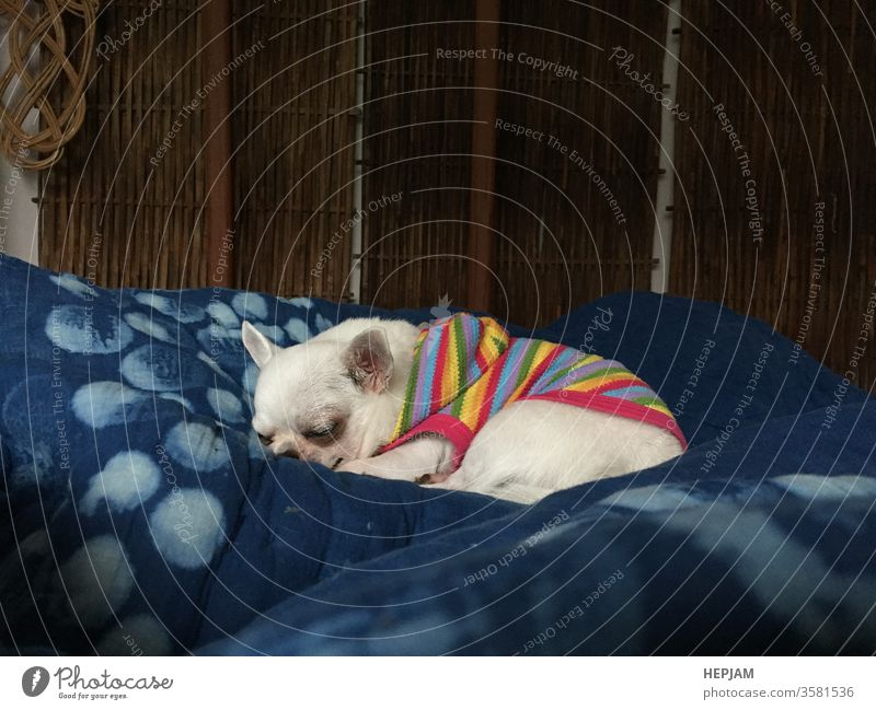 Cute sleepy chihuahua dog is sleeping or napping on bed in bedroom adorable animal asleep baby background beautiful blanket breed buzz canine close comfort