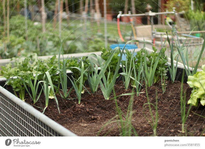 Herbs and salad in a raised bed. More vegetable beds in the background Gardening grow do gardening prate herbs Lettuce Vegetable kitchen garden Nature green